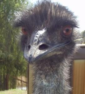 Ernie Emu
